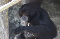 Siamang. Symphalangus syndactylus, eating a banana. Foto taken in Amersfoort zoo Stock Images