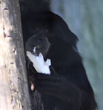 Siamang. Symphalangus syndactylus, eating a banana. Foto taken in Amersfoort zoo Stock Photo