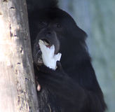 Siamang. Symphalangus syndactylus, eating a banana. Foto taken in Amersfoort zoo Stock Photography