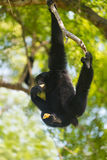 Siamang, Symphalangus syndactylus Royalty Free Stock Images