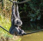 Siamang, Symphalangus syndactylus ist ein baumartiger schwarz-mit Pelz besetzt Gibbon lizenzfreie stockfotografie