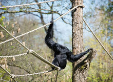 Siamang (Symphalangus syndactylus). The siamang (Symphalangus syndactylus) is a tailless, arboreal, black-furred gibbon native to the forests of Malaysia Royalty Free Stock Image