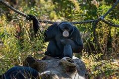 Siamang, syndactylus dello Symphalangus ? un gibbone nero-coperto di pelo arboreo fotografie stock libere da diritti