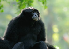 Siamang , Thailand Stock Photography