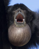 Siamang Throat Sac Stock Image