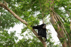Siamang on tree. The siamang (Symphalangus syndactylus Royalty Free Stock Photography