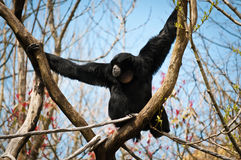 Siamang on a Y-shaped branch Stock Photography