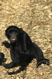 Siamang Stock Photos