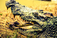 Siamensis de Crocodylus photo libre de droits