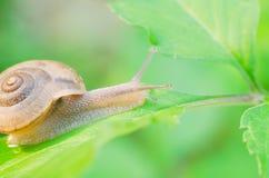 Siamensis di Cryptozona della lumaca sulle foglie verdi Immagini Stock