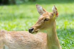 Siamensis fêmea do eldii de Panolia Imagem de Stock Royalty Free