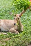 Siamensis femelle d'eldii de Panolia Photo stock