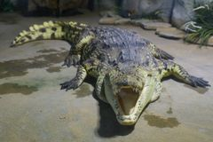 Siamensis siamois de Crocodylus de crocodile dans le zoo image stock