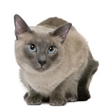 Siamese, 3 years old, lying Royalty Free Stock Image