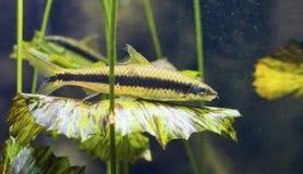 Siamese algae eater fish Crossocheilus siamensis Stock Photo