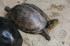 Siamese asksumpsk?ldpadda Format som sk?ldpaddor, men med buktad ett h?gre fotografering för bildbyråer