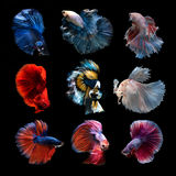 Siamese betta fish collection Royalty Free Stock Photos