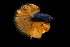 Siamese betta fish Stock Image