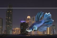 Siamese betta with night city background Stock Photos