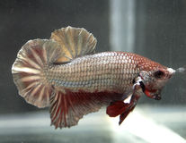 Siamese Betta Splendens Stock Photos