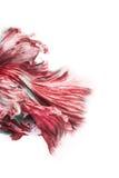 Siamese bettafisk Royaltyfria Foton