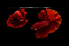 Siamese bettafisk Arkivbilder
