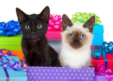 Siamese and black kitten in birthday presents Stock Images