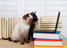 Siamese and black kitten with computer Stock Images