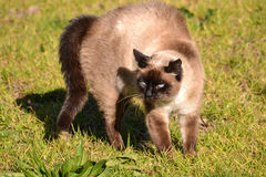 Siamese brown cat by the sun Stock Photos