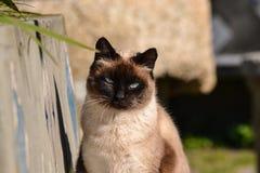 Siamese brun katt vid solen Arkivfoton