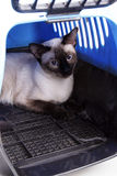 Siamese cat. A siamese cat  in transport box Royalty Free Stock Photo