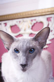 Siamese Cat. Blue point Siamese cat portrait Royalty Free Stock Photos
