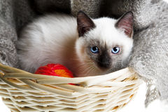 Siamese cat. With ball of threads in bast basket Stock Photos