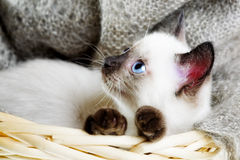 Siamese cat. Lying in the bast basket royalty free stock photography