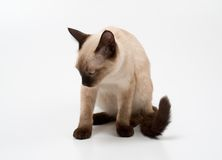Siamese cat. Small siamese cat on a white background Stock Photo