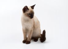 Siamese cat. Small siamese cat on a white background Stock Image