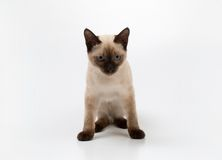 Siamese cat. Small siamese cat on a white background Stock Photography