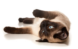 Siamese cat. Isolated on white royalty free stock photo