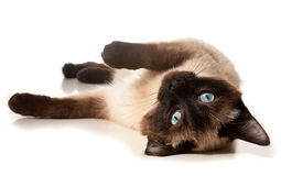 Siamese cat. Isolated on white Stock Images