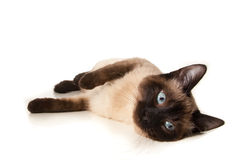 Siamese cat. Isolated on white Stock Photo