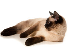 Siamese cat. Isolated on white royalty free stock photography
