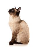Siamese cat Stock Images