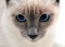 Siamese cat Royalty Free Stock Photo