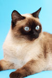Siamese cat. On a light background Royalty Free Stock Photography