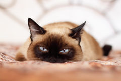 Siamese cat. On a light background Stock Photos