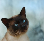 Siamese cat. Face of a siamese cat Royalty Free Stock Photography