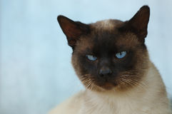 Siamese cat. Face of a siamese cat Stock Photography