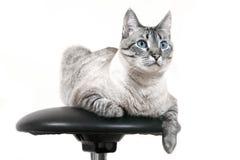 Siamese Cat Stock Image