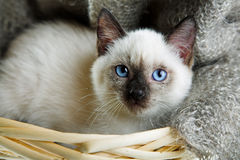 Siamese cat. Lying in the bast basket Stock Image