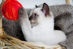 Siamese cat. With ball of threads in bast basket royalty free stock images